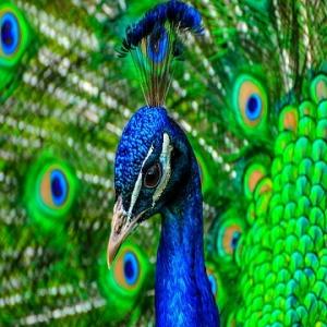 انواع نژاد طاووس شناخته شده در دنیا