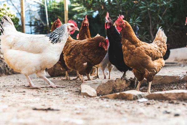 مرغ بومی تخمگذار