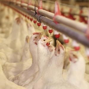 صنعت پرورش مرغ