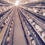 تغذیه مرغ تخم گذار و قفس آن