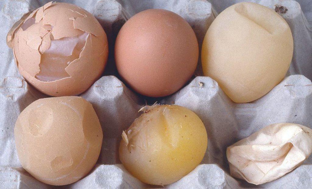 عامل موثر در کیفیت تخم مرغ