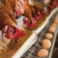 دوره پرورش مرغ تخمگذار به چه عواملی بستگی دارد؟