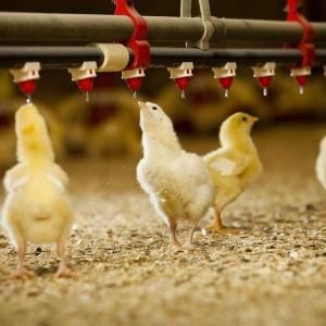 بسترسازی برای مرغ