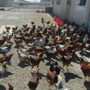 طرح پرورش مرغ های بومی