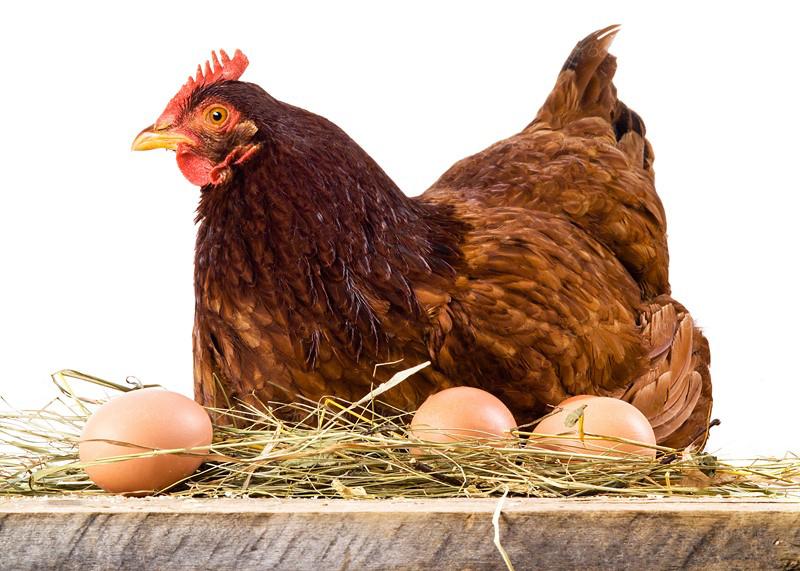 دوره پرورش مرغ تخمگذار