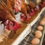پرورش مرغ تخمگذار در قفس